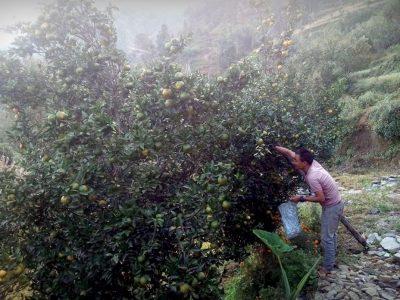 चाइनिज झिंगाको प्रकोप सुन्तलामा पनि फैलियो, किसान चिन्तित